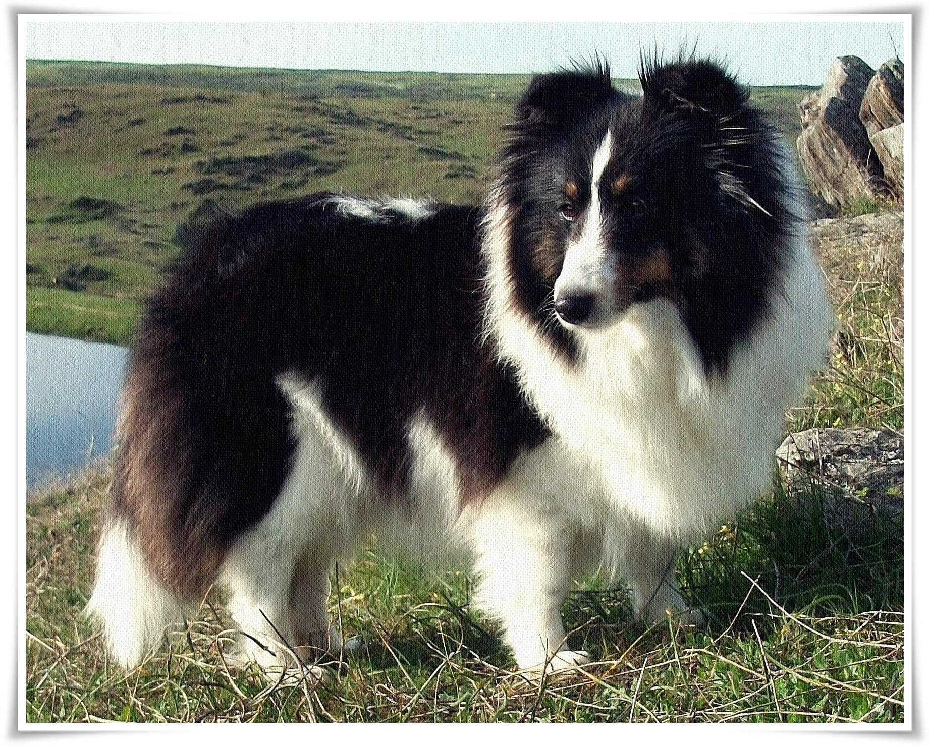 cachorro shetland sheepdog