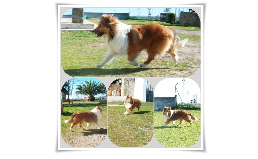 shelties-brillo-de-diamantes